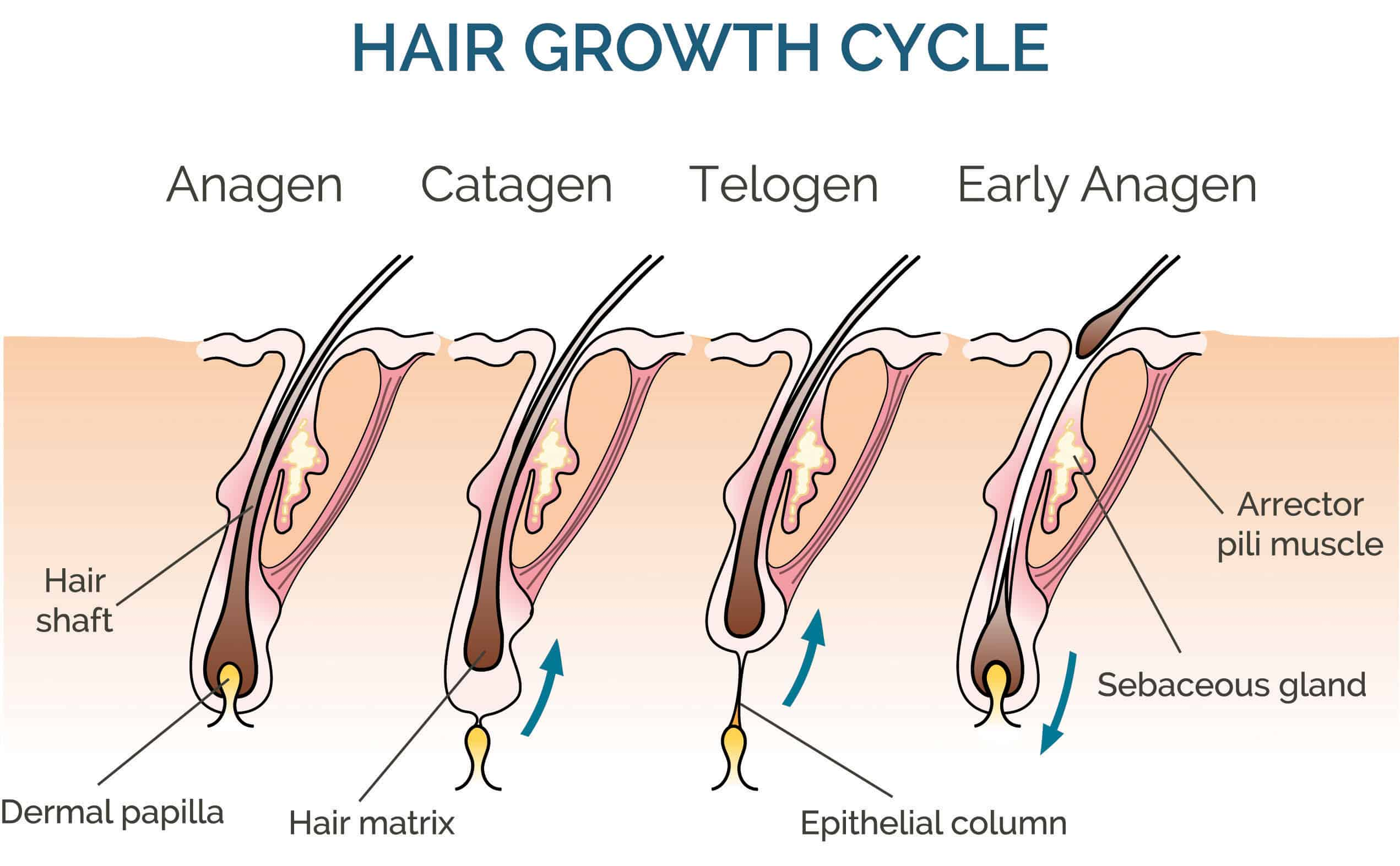 hair growth cycle